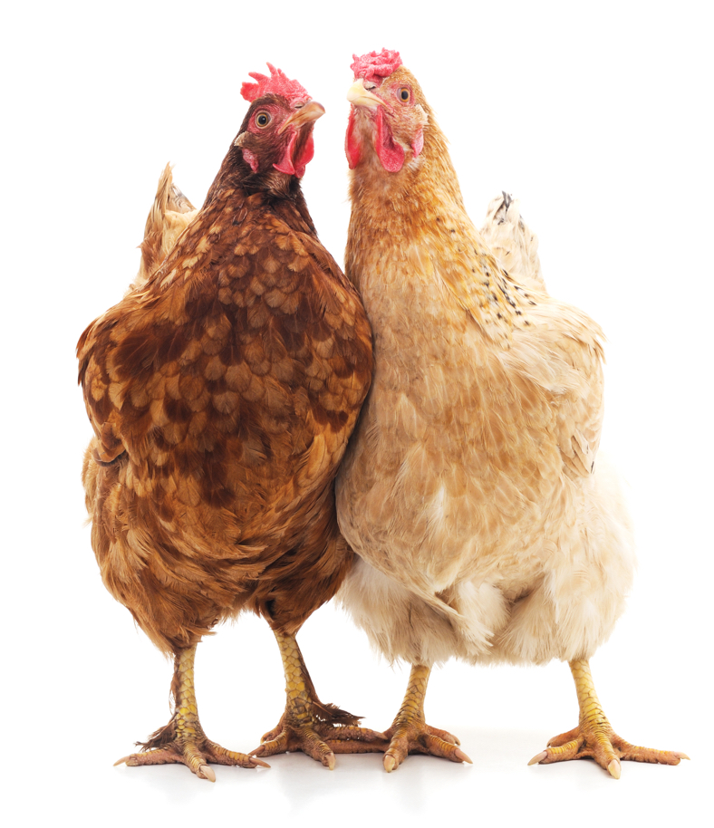 Photo of a pair of cheeky hens
